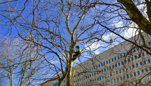 dead wood pruning, surgeon up tree