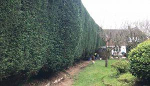 hedge maintenance complete, trimmed fresh hedge