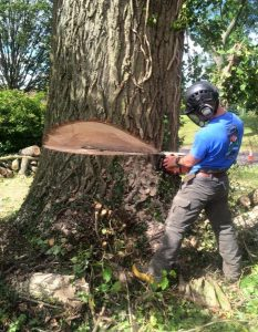 tree surgeon mid cut of large tree
