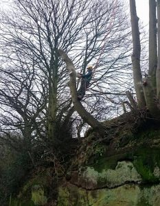 tree surgeon on harness pruning