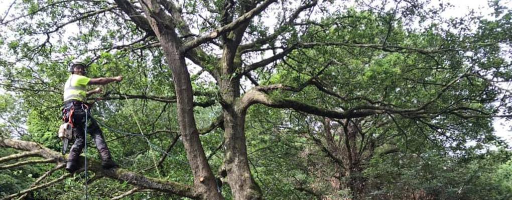 dead wood pruning