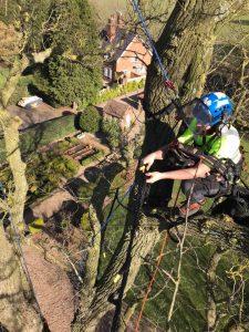 The tree Doctors, tree surgeon up tree on harness