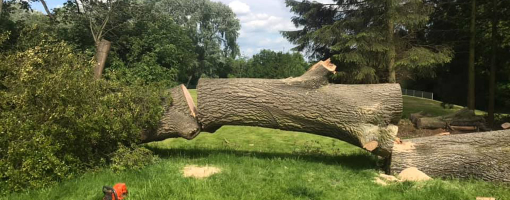 tree felling . tree lying in half on grass