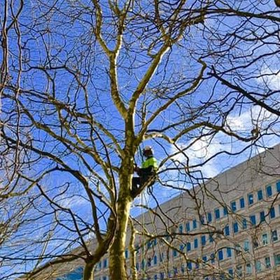 dead wood pruning, surgeon up tree