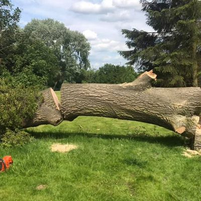 tree felling , after, in half on field
